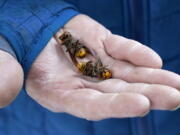FILE - In this Oct. 24, 2020, file photo, a Washington state Department of Agriculture worker holds two of the dozens of Asian giant hornets vacuumed from a tree in Blaine, Wash. Authorities say they've found the first Asian giant hornet nest of 2021 in a rural area east of Blaine. State entomologists will now develop a plan to eradicate the nest.