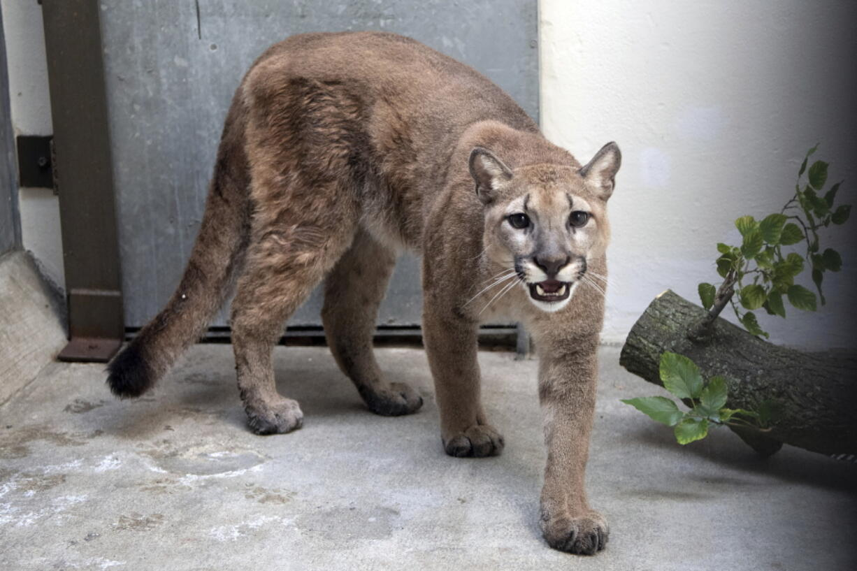 An 11-month-old, 80-pound cougar was removed from an apartment in the Bronx borough of New York, where she was being kept illegally as a pet, animal welfare officials said Monday. The cougar, nicknamed Sasha, spent the weekend at the Bronx Zoo receiving veterinary care and is now headed to the Turpentine Creek Wildlife Refuge in Arkansas, officials said.