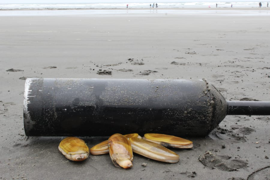 The Washington Department of Fish and Wildlife announced on Friday, Aug. 27, 2021, that 62 tentative dates are set for razor clam digs at beaches along the Washington coast beginning in mid-September and running through the end of the year.