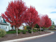 When trees start showing their fall color, it is time to go shopping.