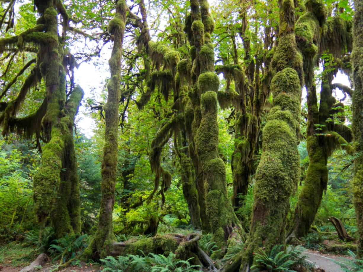 Hall of Mosses in the Hoh Rain Forest is a nice, short rainforest loop from the Hoh Rain Forest Visitor Center in Olympic National Park and about two hours southwest of Port Angeles.