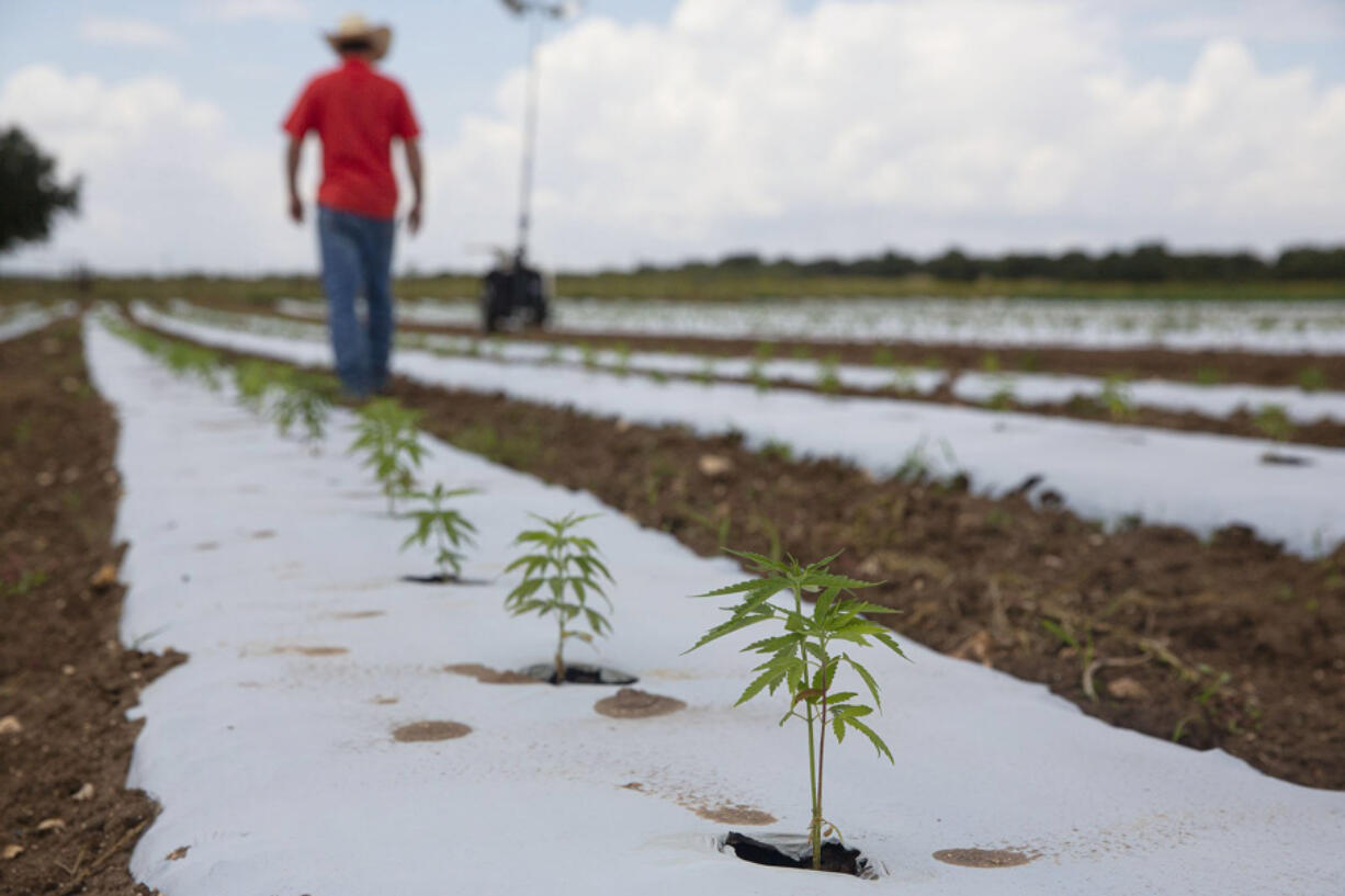 Hemp plants line the plot of land as Tejas Hemp owner Aaron Owens checks on his crops at Jenschke's farm in Luckenbach, Texas on Monday, August 30, 2021. Tejas Hemp manufactures and distributes CBD products, with a specialty in CBDV, or cannabidivarin. Hemp, unlike marijuana, isn't psychoactive.