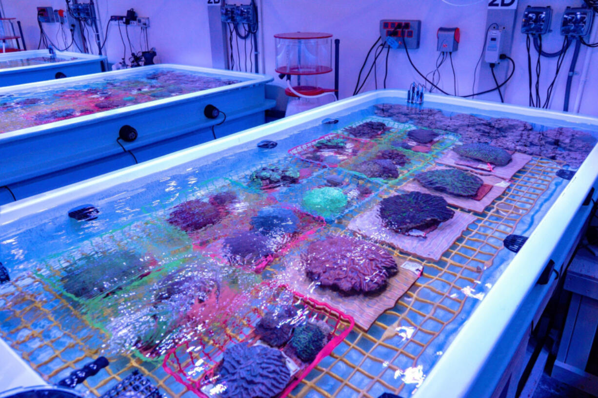The Florida Coral Reef Rescue Center in Orlando preserves hundreds of specimens that researchers hope will serve as sort of a seed bank for future restoration. Special lighting gives the room a bluish hue and is designed to mimic the marine environment.