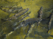 Chinook salmon swim up a fish ladder at the California Department of Fish and Wildlife Feather River Hatchery just below the Lake Oroville dam during the California drought emergency on May 27, 2021, in Oroville, Calif. (Patrick T.