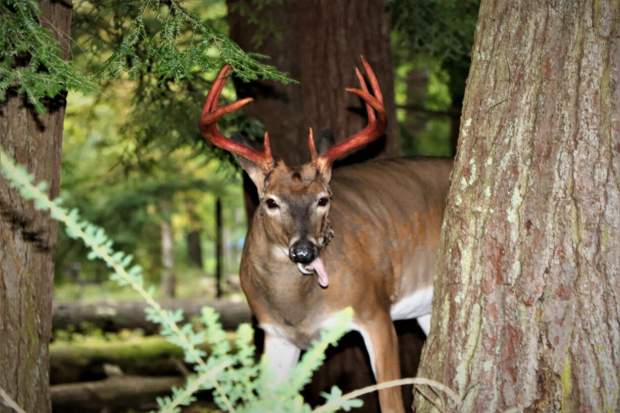 This time of year, you may see male white-tailed deer sporting bloodied antlers, often with a stringy material dangling from them.