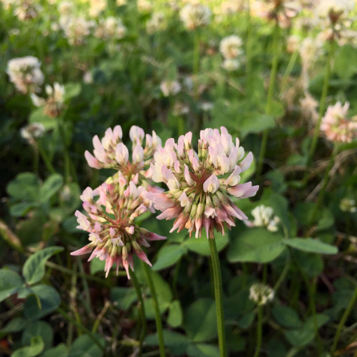 The pink-tinged blossoms of white clover are delicately sweet and can be added to baked goods.