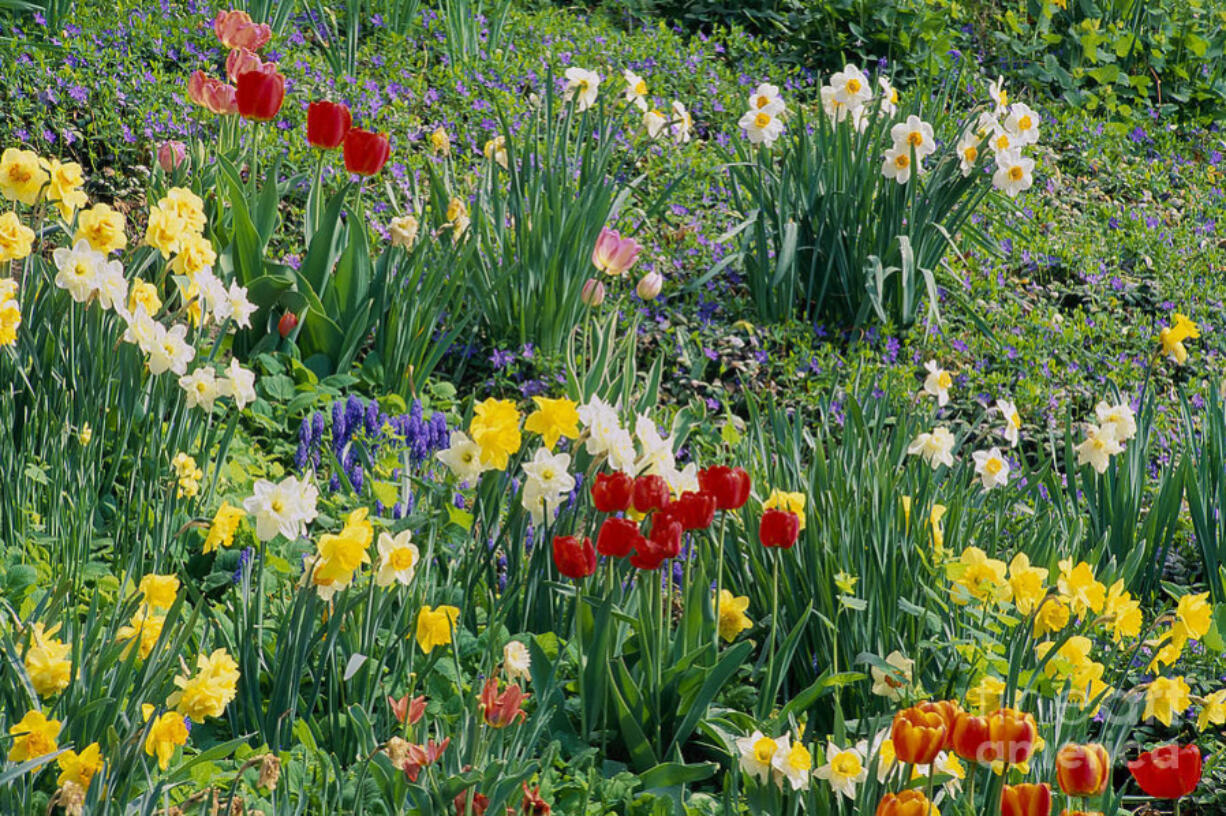 Plant bulbs now for spring blooms.