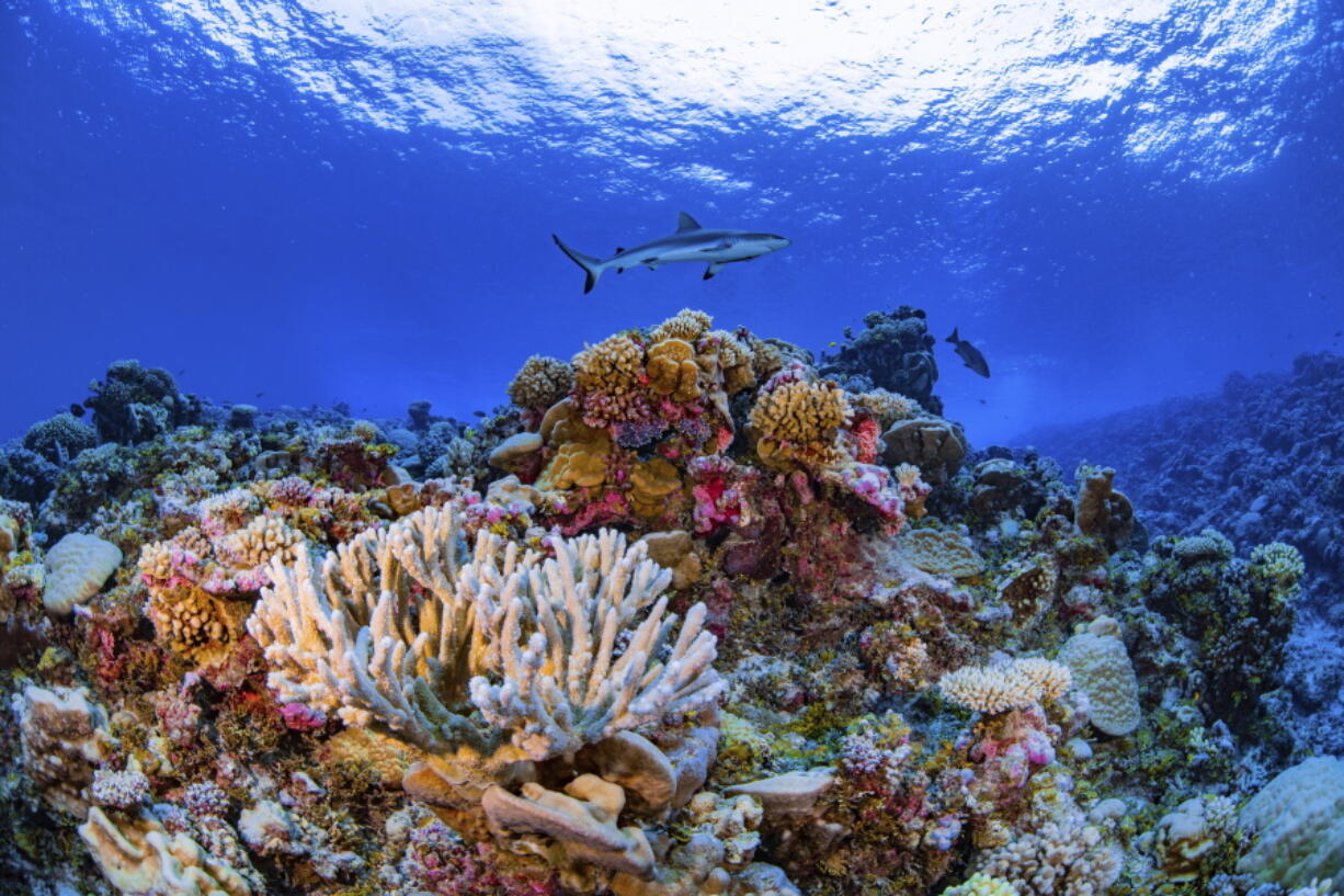 A shark swims on a reef in Ailinginae Atoll in the Marshall Islands. Researchers have completed a comprehensive online map of the world's coral reefs by using more than 2 million satellite images from across the globe.