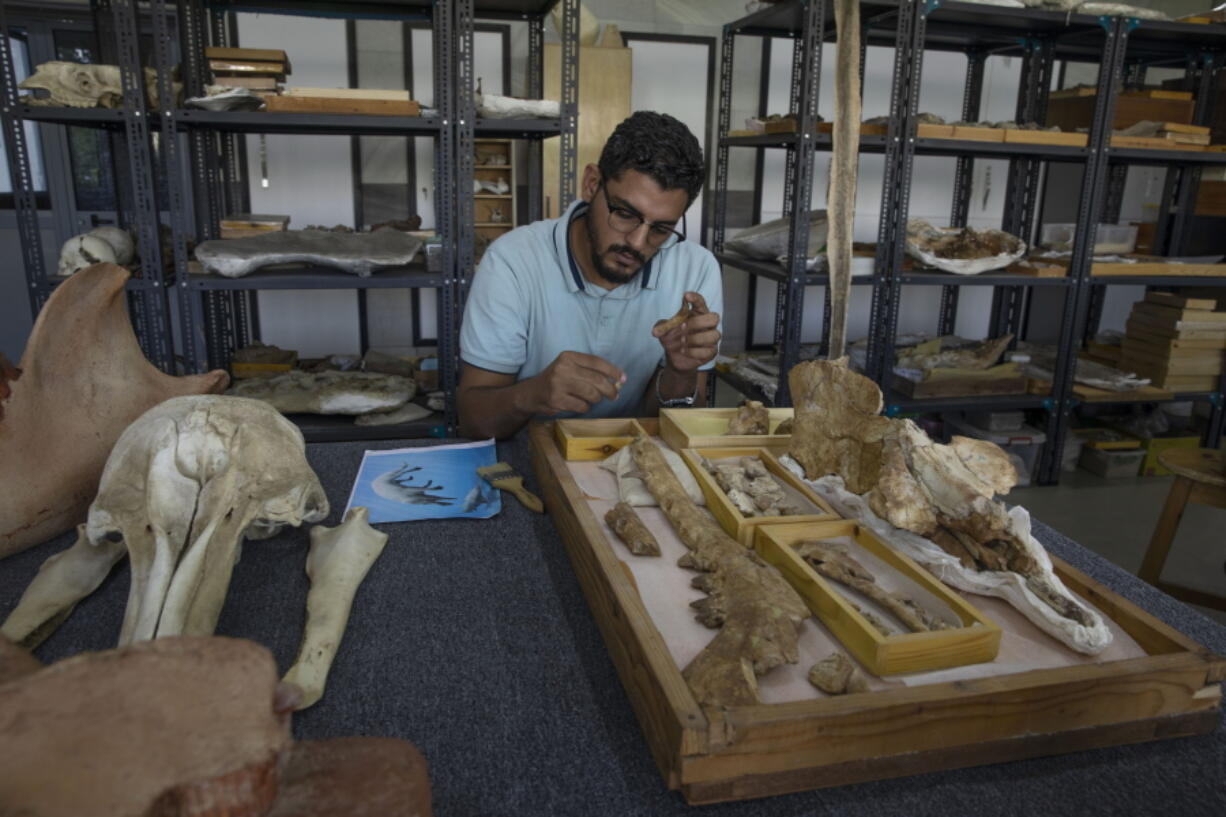 """Abdullah Gohar, an Egyptian researcher at Mansoura University, shows the fossil of a 43-million-year-old four-legged prehistoric whale known as the """"Phiomicetus Anubis"""" at the university's paleontology department lab, in Mansoura, Egypt."""