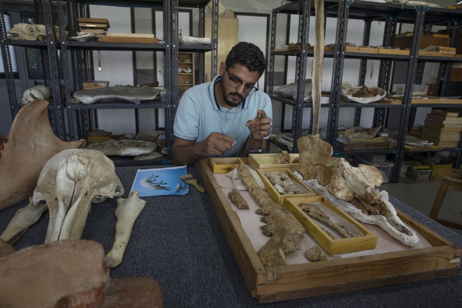 Egyptian team identifies fossil of land-roaming whale species