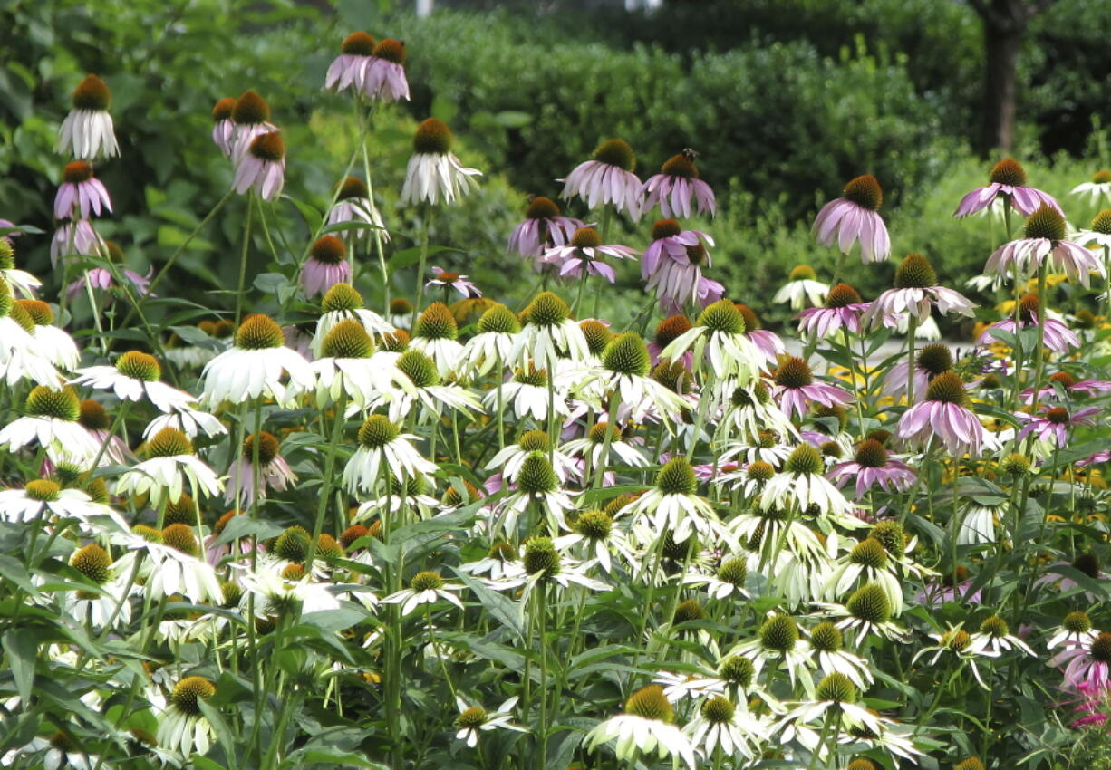 Echinacea is one of many flowers that grows well even in dry summers.