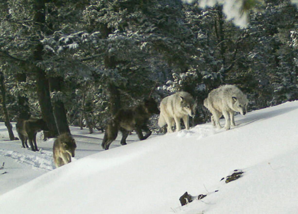 FILE - In this Feb. 1, 2017, file image provided the Oregon Department of Fish and Wildlife, a wolf pack is captured by a remote camera in Hells Canyon National Recreation Area in northeast Oregon near the Idaho border. Wildlife advocates pressed the Biden administration on Wednesday, May 26, 2021, to revive federal protections for gray wolves across the Northern Rockies after Republican lawmakers in Idaho and Montana made it much easier to kill the predators.
