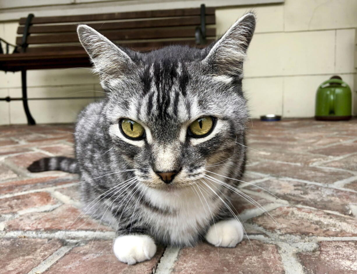 This photo provided by writer Solvej Schou shows Schou's neighbors' cat, Kevin as he sits on Schou and her husband's porch on Aug. 21, 2021 in Pasadena, Calif.