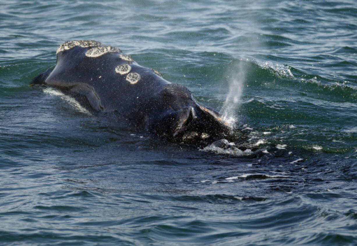 FILE - In this March 28, 2018, file photo, a North Atlantic right whale feeds on the surface of Cape Cod bay off the coast of Plymouth, Mass. America's lobster fishing industry will face a host of new restrictions in harvesting the valuable crustaceans due to a new push from the federal government to try to save a vanishing species of whale. The whales number only about 360 and they are vulnerable to lethal entanglement in fishing gear.