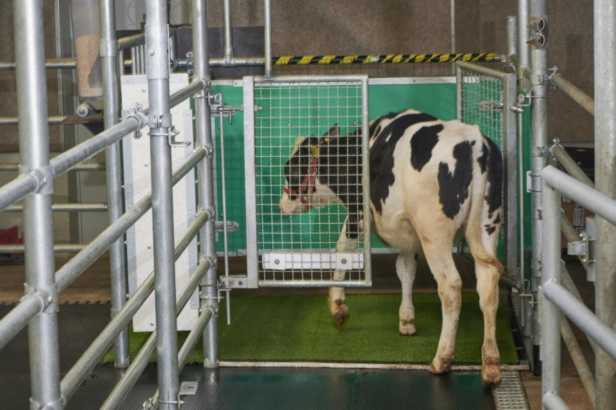 """In this undated photo provided by the Research Institute for Farm Animal Biology in Dummerstorf, Germany in September 2021, a calf enters an astroturf-covered pen nicknamed """"MooLoo"""" to urinate. The scientists, mimicking the process of putting a toddler on the potty until he or she has to go, put the cows in and waited until they urinated and then gave them a reward: a super sweet liquid of mostly molasses."""