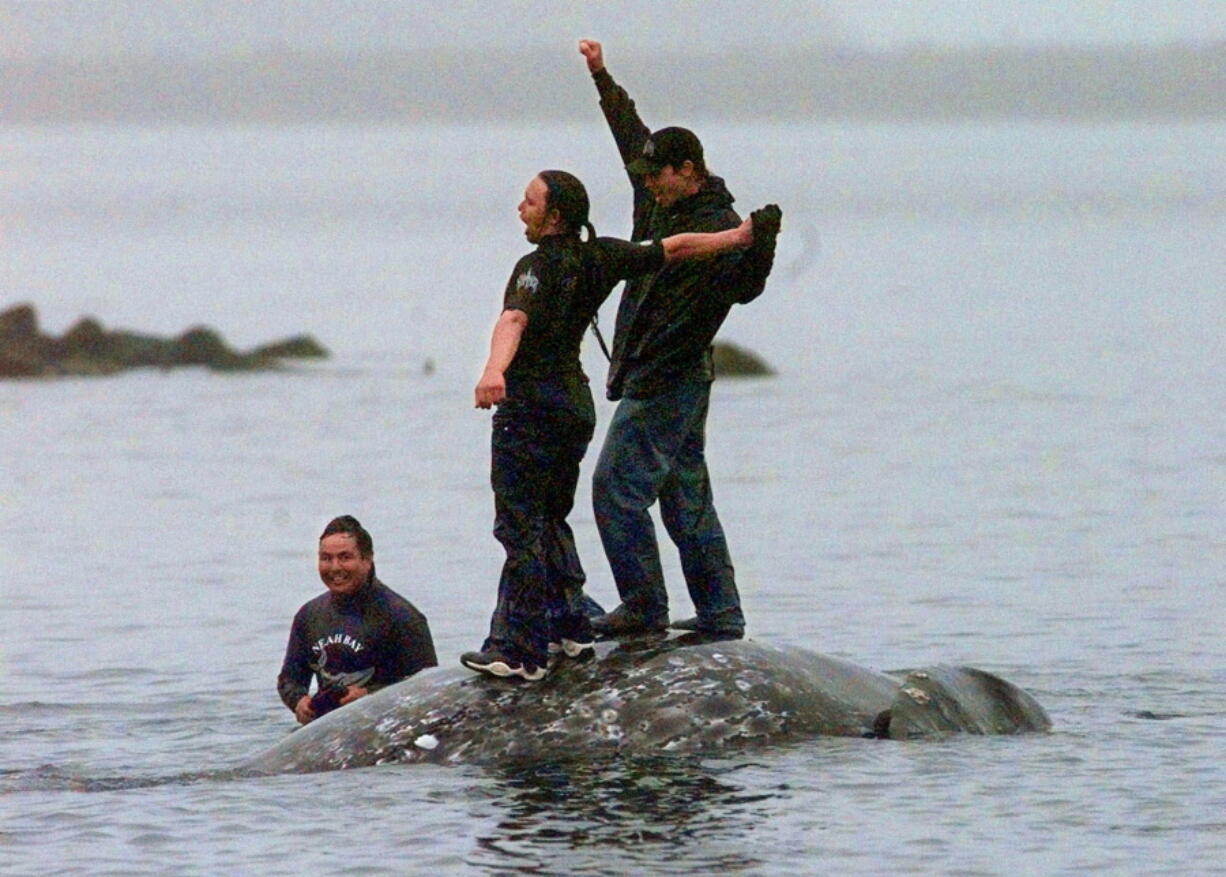 In this May 17, 1999, file photo, two Makah Indian whalers stand atop the carcass of a dead gray whale moments after helping tow it close to shore in the harbor at Neah Bay, Wash. An administrative law judge on Thursday, Sept. 23, 2021, recommended that the Makah be allowed to resume whaling along the coast of Washington state, as their ancestors did.