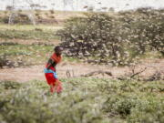 """FILE - In this file photo taken Thursday, Jan. 16, 2020, a Samburu boy uses a wooden stick to try to swat a swarm of desert locusts filling the air, as he herds his camel near the village of Sissia, in Samburu county, Kenya. Climate change could push more than 200 million people to move within their own countries in the next three decades and create migration hotspots unless urgent action is taken in the coming years to reduce global emissions and bridge the development gap, a World Bank report has found. The report published on Monday, Sept. 13, 2021 examines how long-term impacts of climate change such as water scarcity, decreasing crop productivity and rising sea levels could lead to millions of what the report describes as """"climate migrants"""" by 2050."""
