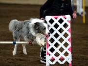 A dog clears a hurdle on the jumping course at the Mount Hood Doberman Pinscher Club agility trials on Saturday, Oct. 9, 2021, at the Dr. Jack Giesy Equestrian Arena in Ridgefield.
