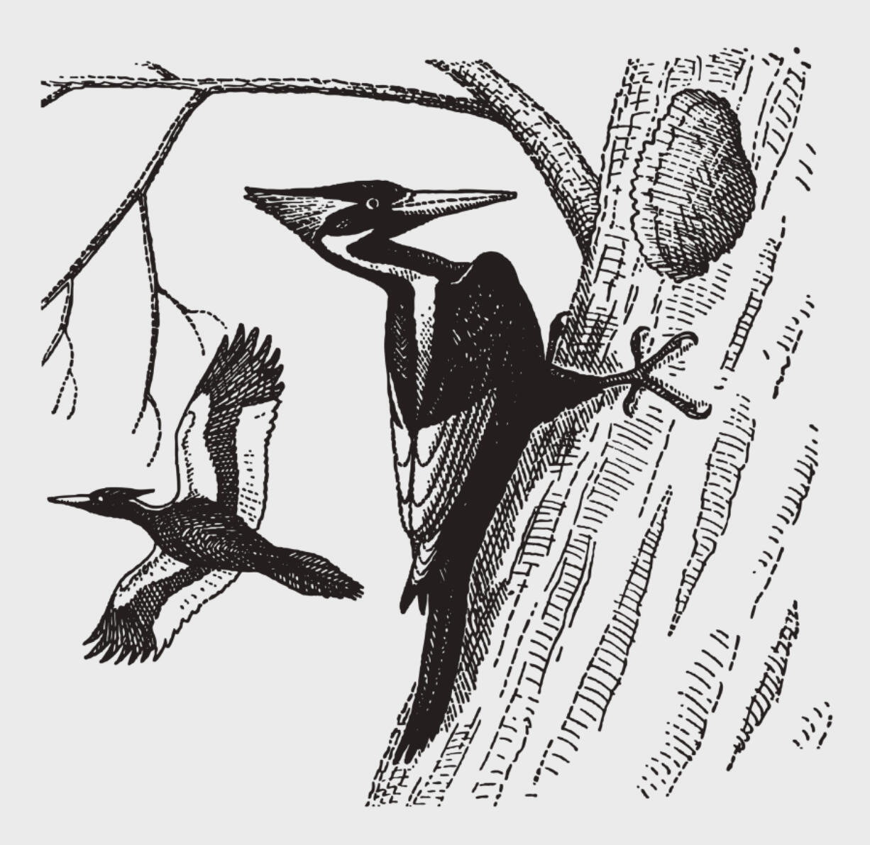 An extinct ivory-billed woodpecker excavating a hole in a tree trunk in an illustration patterned after an engraving from the early 20th century.
