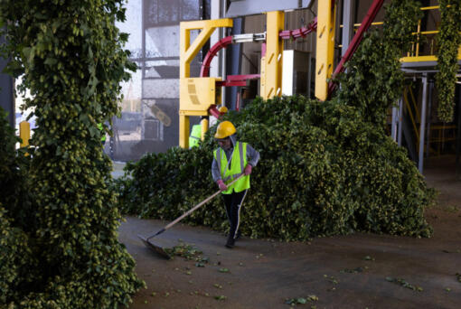 Romina Atzin sweeps up harvested hops at Perrault Farms in Toppenish in Yakima County on Sept. 16. Washington has 71 percent of the more than 60,000 acres of hops planted in the U.S. as of June. Nearly all of that acreage is in the Yakima Valley. (Matt M.