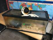 Quick-acting school staff and firefighters prevented a terrarium fire from spreading inside a classroom at North Fork Elementary School in Woodland on Friday morning, saving the resident snake.