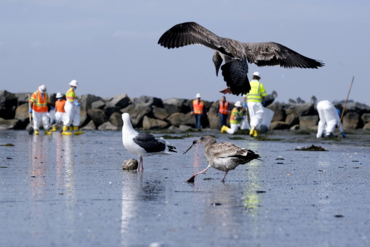 Birds are seen as workers in protective suits clean the contaminated beach after an oil spill in Newport Beach, Calif., on Wednesday, Oct. 6, 2021. A major oil spill off the coast of Southern California fouled popular beaches and killed wildlife while crews scrambled Sunday, to contain the crude before it spread further into protected wetlands. (AP Photo/Ringo H.W.