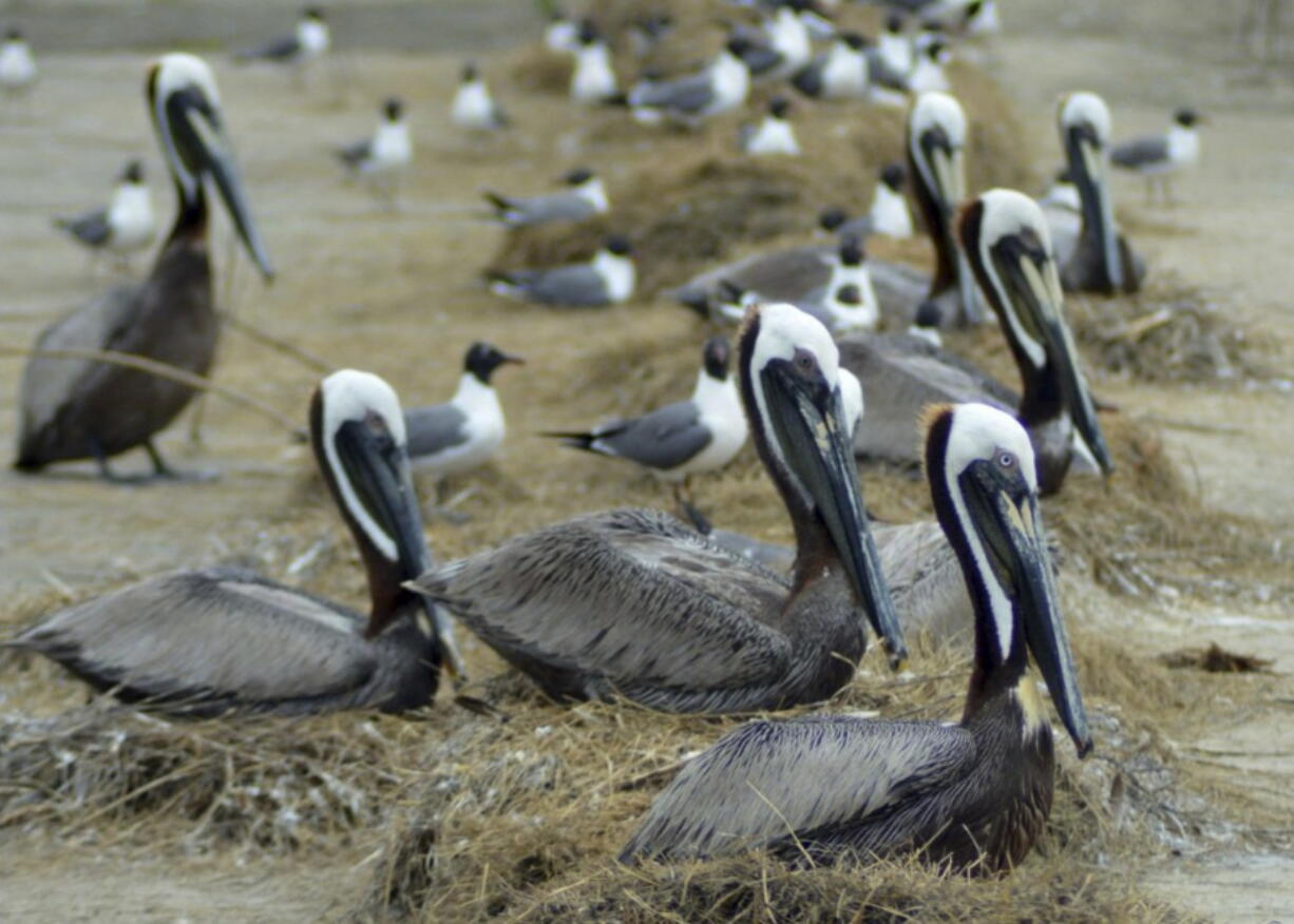 Brown pelicans nest among laughing gulls on Rabbit Island in southwest Louisiana.