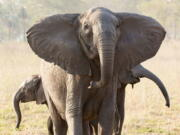 A tuskless elephant matriarch with her two calves in the Gorongosa National Park in Mozambique.