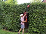 A tall hedge being pruned in New Paltz, NY.