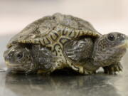 A two-headed diamondback terrapin is weighed at the Birdsey Cape Wildlife Center on Oct. 9 in Barnstable, Mass.