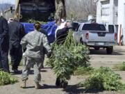 FILE -- In this April 14, 2016, file photo, investigators load marijuana plants onto a Colorado National Guard truck outside a suspected illegal grow operation in north Denver. A county in southern Oregon says it is so overwhelmed by an increase in the number and size of illegal marijuana farms that it declared a state of emergency Wednesday, Oct. 13, 2021, appealing to the governor and the Legislature's leaders for help. (AP Photo/P.