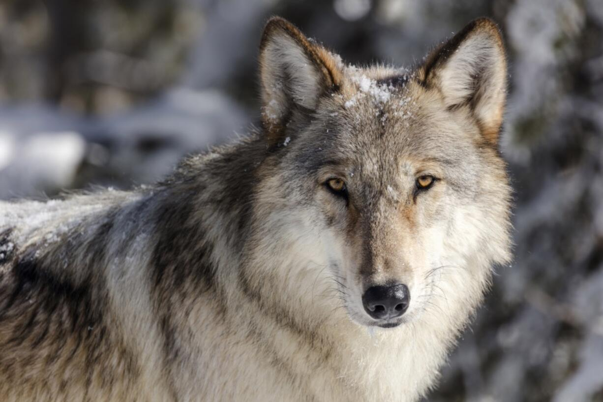 FILE - This Nov. 7, 2017 file photo provided by the National Park Service shows a wolf in Yellowstone National Park, Wyo. State officials have agreed to reimburse hunters and trappers up to $200,000 for killing wolves in Idaho. The Idaho Department of Fish and Game late last month entered into an agreement with the nonprofit Foundation for Wildlife Management to pay the expenses incurred for killing wolves from July 1 through June 30, 2022. (Jacob W.