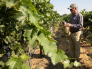 Dick Boushey, owner of Boushey Vineyards in the Yakima Valley, harvests grapes on Aug, 31, 2021. Boushey has been growing wine grapes in Yakima and Benton counties for more than 40 years. (Matt M.